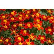 Насіння квітів Чорнобривці Червоний самоцвіт тонколиста, 0,1 г
