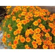 Насіння квітів Чорнобривці Помаранчевий самоцвіт тонколиста, 0,1 г