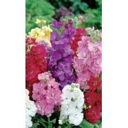 Насіння квітів Левкой Десятитижневий гном суміш, 0,1 г