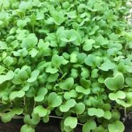 Семена микрозелени Горчица, 20г