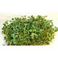 Насіння мікрозелені Рукола Мікс, 10г