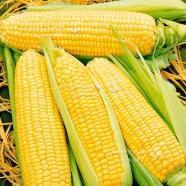 Насіння кукурудзи цукрова Оверленд F1, (Голландія), 0,25 кг
