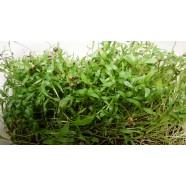 Семена микрозелени Кинза (кориандр), (Италия), 0,1кг