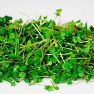 Семена микрозелени Руккола Итальянский Гурман, (Италия), 0,1кг