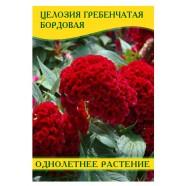 Семена цветов Целозия гребенчатая бордовая, 50г