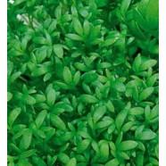 Насіння крес салату Ажур, 0,5 кг