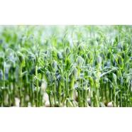 Семена микрозелень Горох, 0,1кг