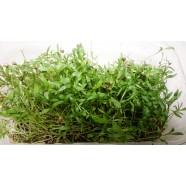 Семена микрозелень Кинза, 0,1кг
