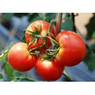 Насіння томату Тести F1, індетермінантний, 5гр.