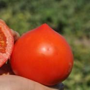 Насіння томату Каста (Зірок) F1, детермінантний, 1000шт.