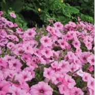 Насіння квітів Іпомея рожева, 50г