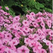 Семена цветов Ипомея розовая, 50г