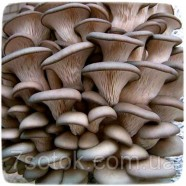 Міцелій гриба Глива звичайна, 10г