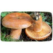 Міцелій гриба Рижик звичайний, 10г