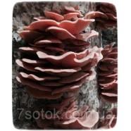 Міцелій гриба Глива рожева, 10г