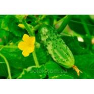 Семена огурца Боровичок F1, 0,5кг