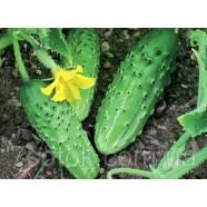 Семена огурца Монастырский, 0,5кг