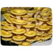 Міцелій гриба Глива лимонна, 10г