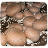Мицелий гриба Шампиньон Королевский, 10г