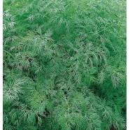 Семена укропа Амброзия, 1кг
