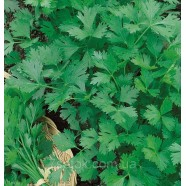Семена петрушки Богатырь листовая, 100г
