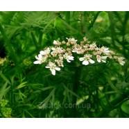 Семена кориандра Кинза, 100г