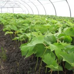 Регулятори росту рослин, стимулятори коренеутворення
