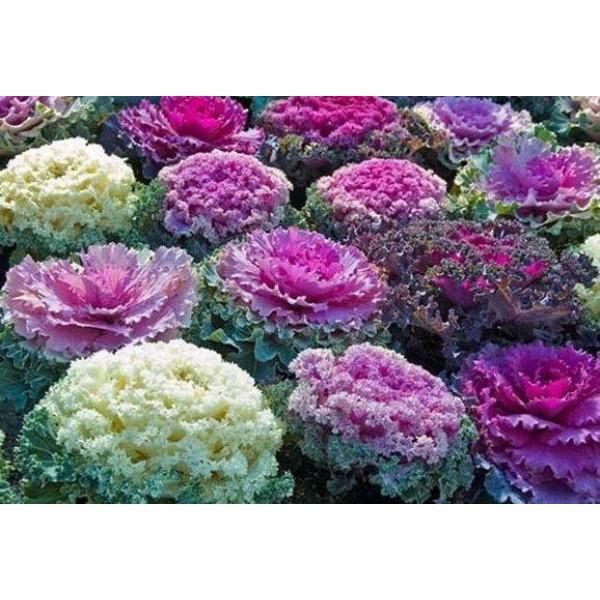 Насіння квітів Капуста декоративна Суміш забарвлень, 0,2 г