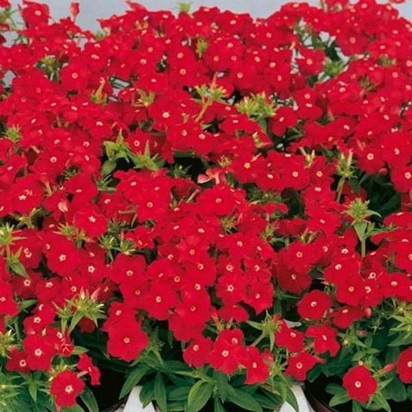 Насіння квітів Флокс Друммонда Ред 0,2 г