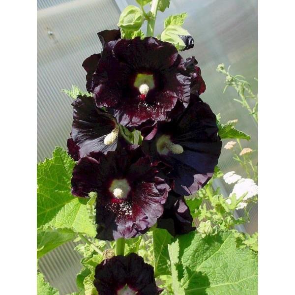 Насіння квітів Шток-троянда Чорна, 0,2 г