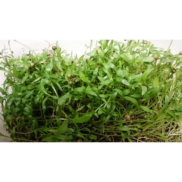 Насіння мікрозелені Кінза (коріандр), (Італія), 0,1 кг