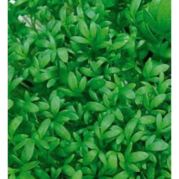 Семена кресс салата Ажур, 0,5кг