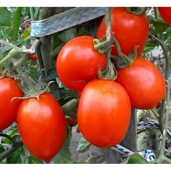 Насіння томату Ріо Гранде, 100 гр., банку.