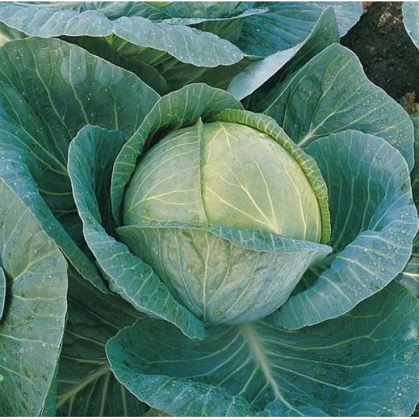 Семена капусты б/к Мегатон F1, 2 500 шт.