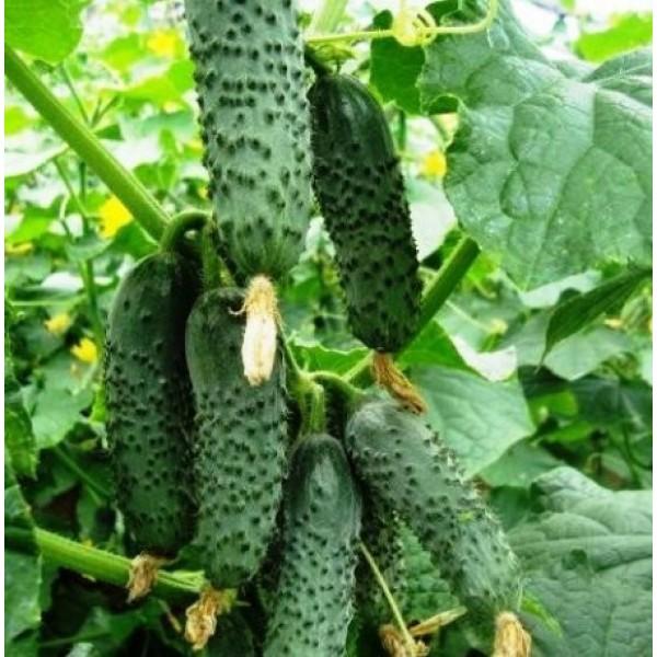 Семена огурца Ленара F1, партенокарпический, 1000 шт.