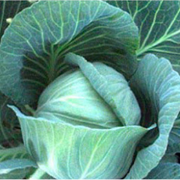 Семена капусты б/к Блоктор F1, 2 500 шт.