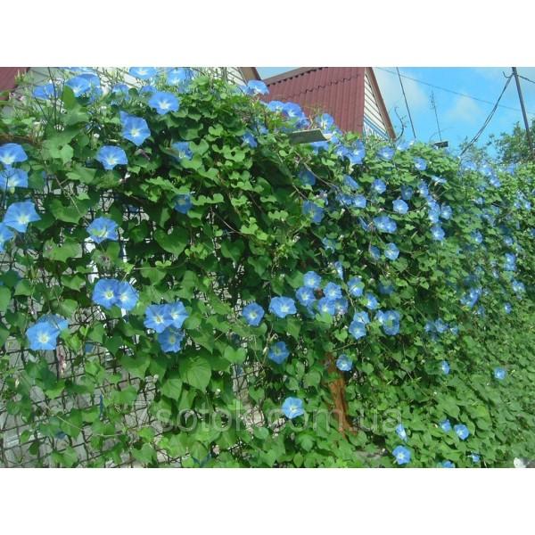 Насіння Іпомея синя, 50г