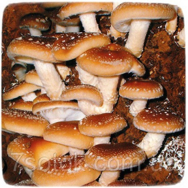 Міцелій гриба Шиітаке Імператорський, 10г