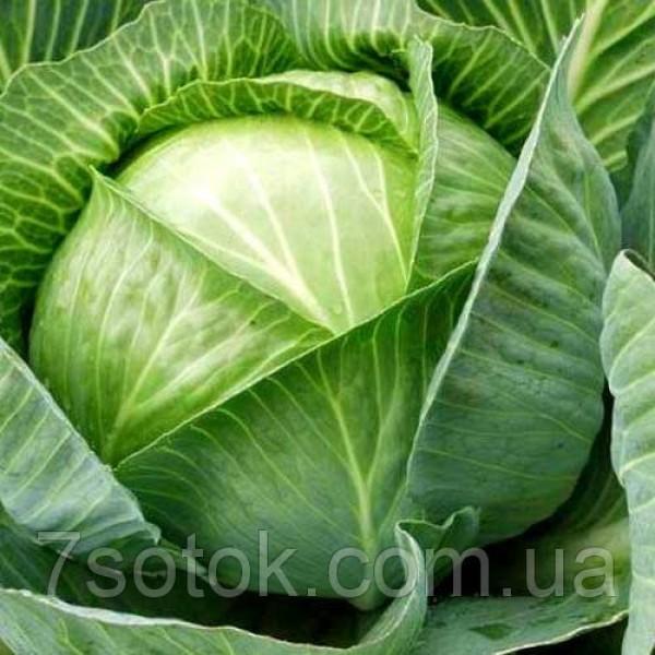 Насіння капусти Харківська зимова, 0,5 кг