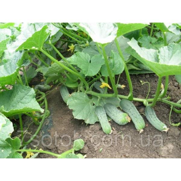 Семена огурца Кустовой, 0,5кг
