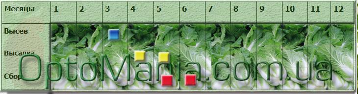 Посів ― збір пекінської капусти