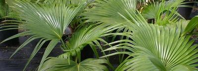 Добриво для пальм