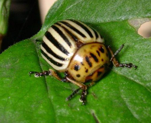 від колорадського жука